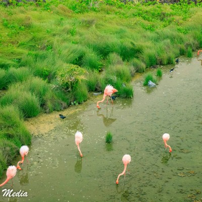 American Flamingos on Isabela Island