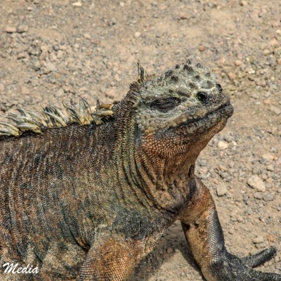 Marine Iguana rests in the sun after a morning diving for breakfast.