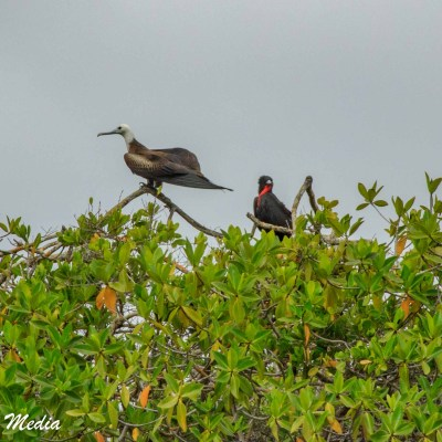 Magnificent Frigatebirds on Isabela Island.