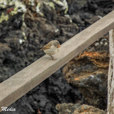 Darwin Finch rests on a railing near Tintoreras off Isabela Island.