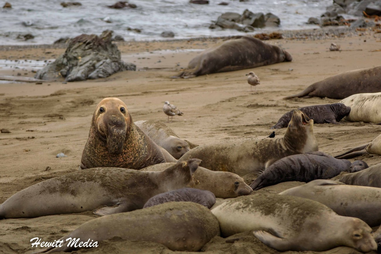 California Elephant Seals Visit-1209