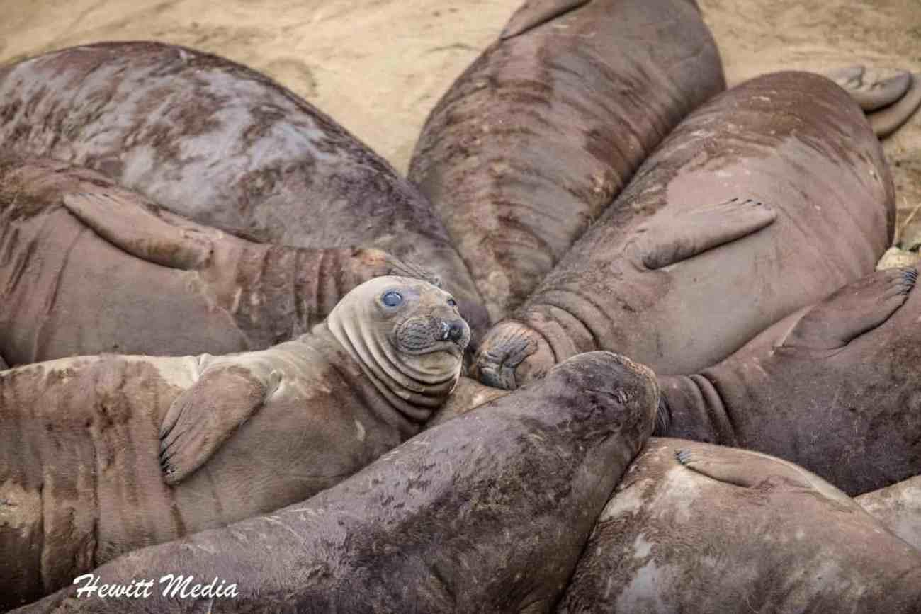 California Elephant Seals Visit-1223