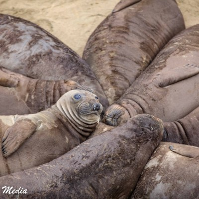Juvenile Elephant Seals rest together at Point Piedras Blancas