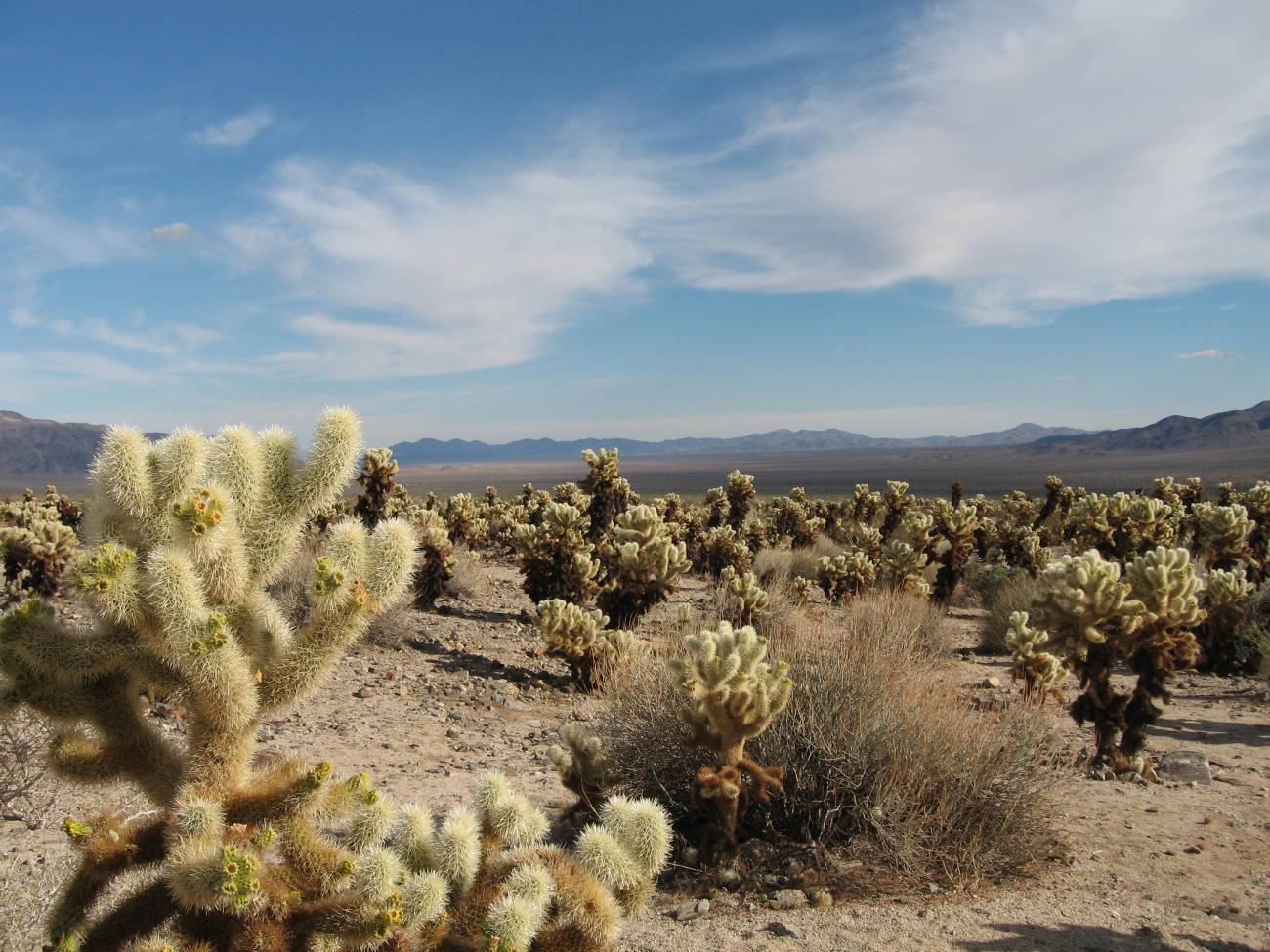Cholla Cactus Garden.jpg