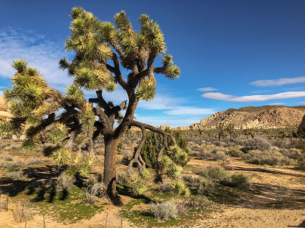 Travel Journal (1/31/2019): Joshua Tree National Park