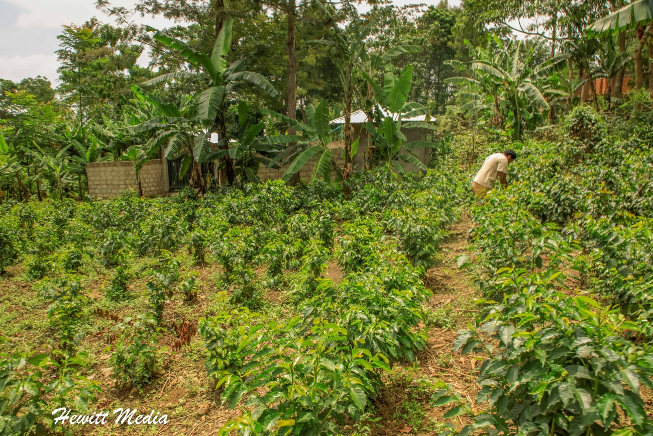 Tanzania Coffee-4389
