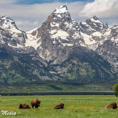 Bison in front of the Grand Teton Range