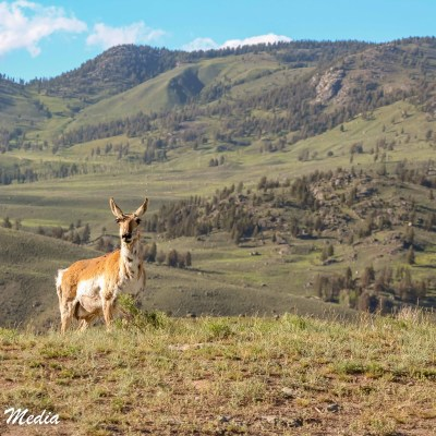 Antelope in Yellowstone