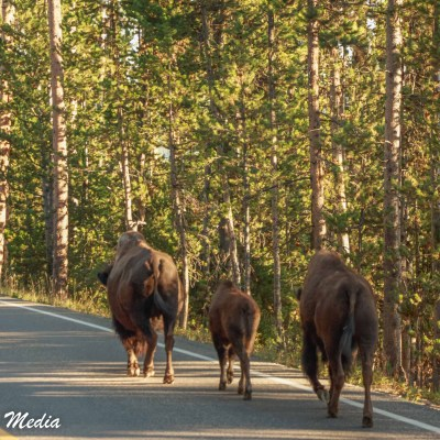 Bison walk the road in Yellowstone National Park