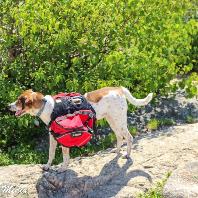 Dog carrying hiking supplies up Cadillac Mountain