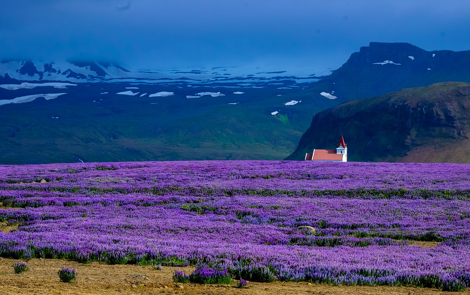 lavender-2558494_960_720