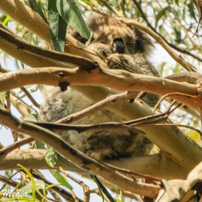 Wild Koala at Kennett RIver