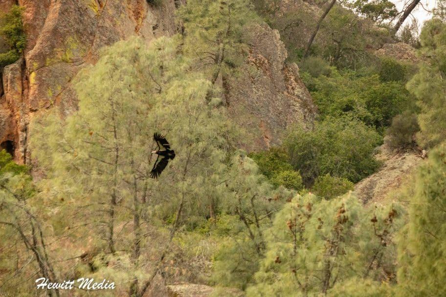 California Condor in Pinnacles National Park