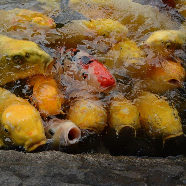Okayama garden korakuen koi pond
