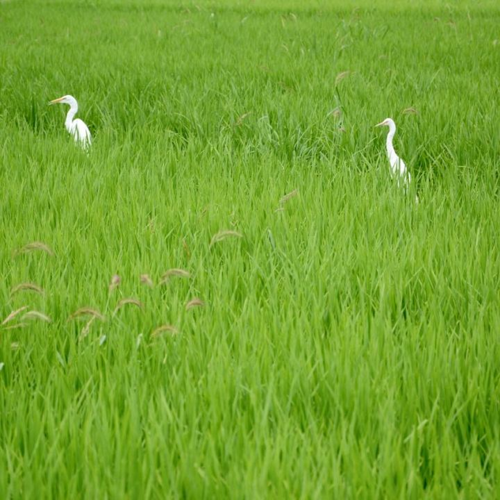 Kibi plain bike ride white crane rice field
