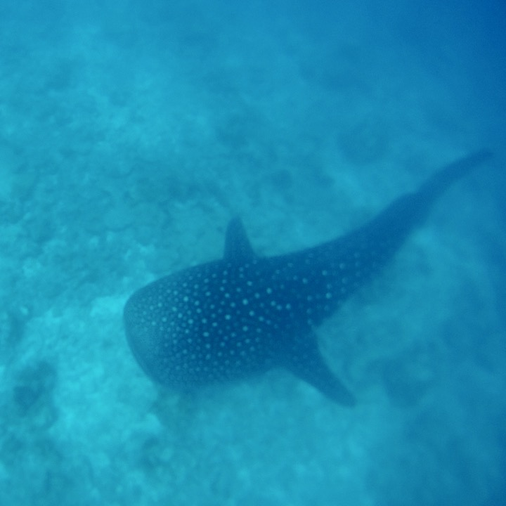 travel with children kids maldives lux south ari atoll whale shark