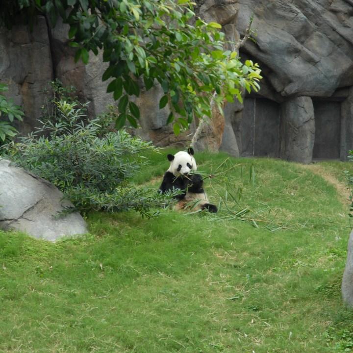 hong kong ocean park with kids children china giant panda
