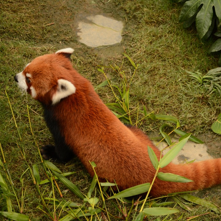 hong kong ocean park with kids children china red panda