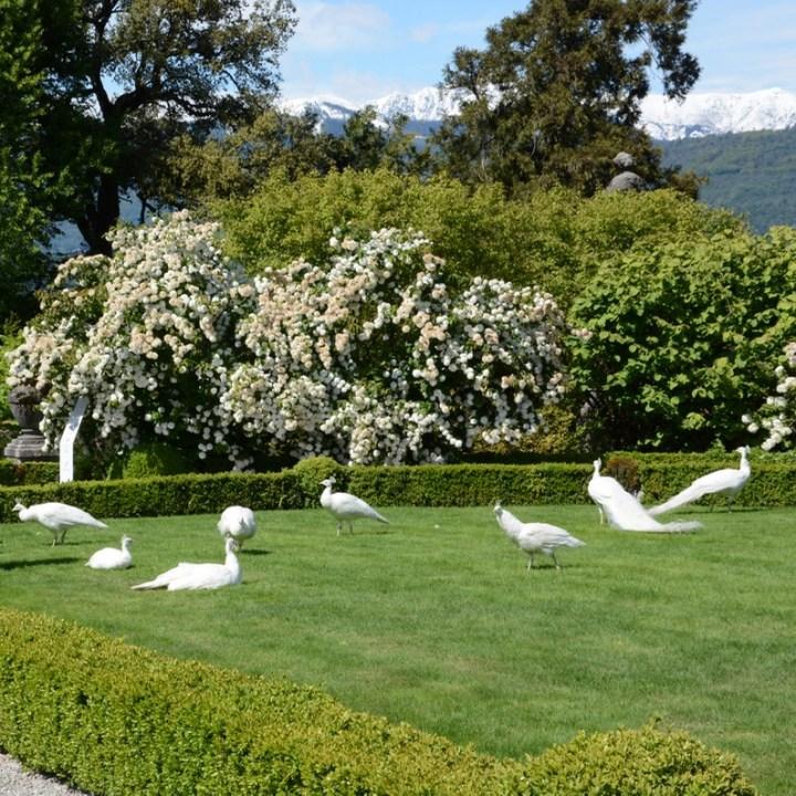 travel with kids children isola bella lago maggiore italy palazzo borromeo garden white peacocks