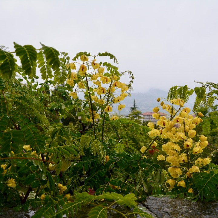 travel with kids children villa taranto botanical garden pallanza lago maggiore yellow blossom
