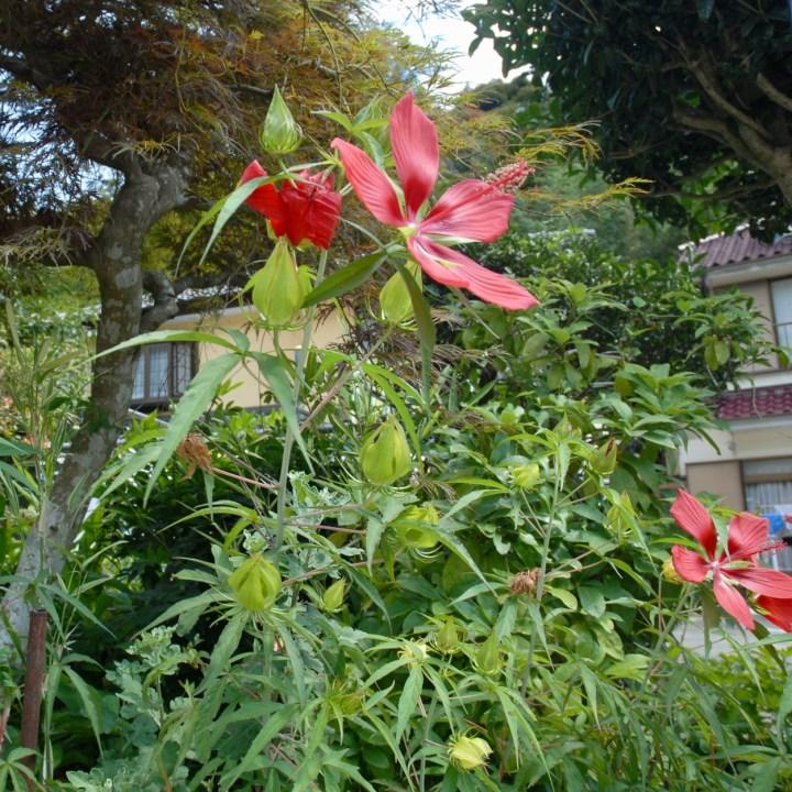 shimoda japan with kids kawazu seven waterfall hibiskus