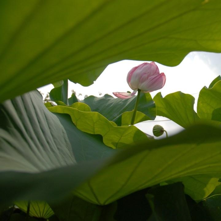 heda japan with kids izu peninsular lotus