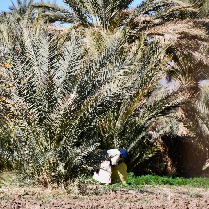 Agdz Morocco with kids draa valley hike harvest