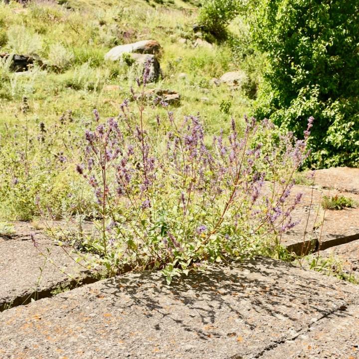 Gveleti waterfalls weeds