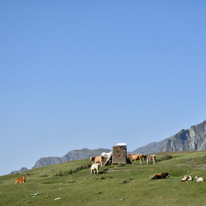 Gergeti church and cows