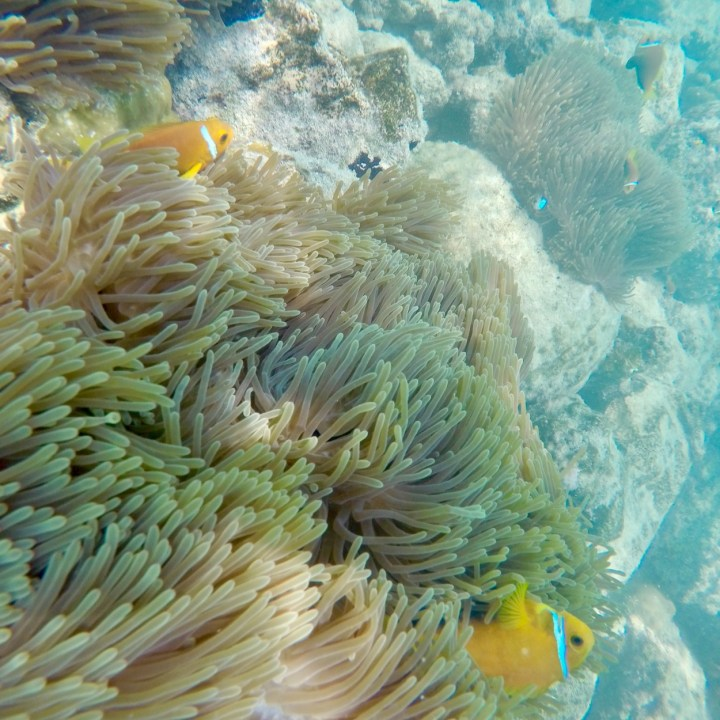 Lux South Ari clownfish