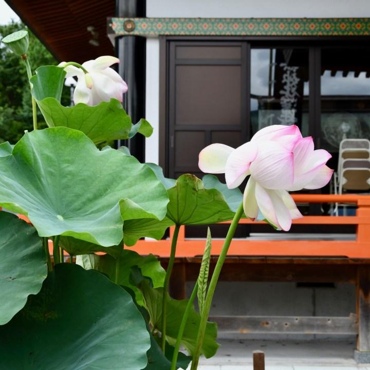 lotus blossom Kumamtoto