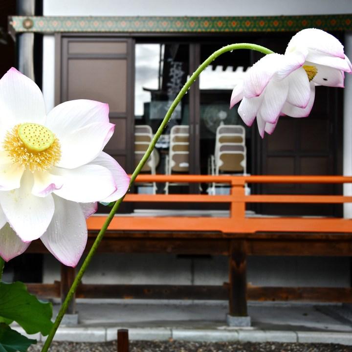 Honmyoji temple lotus blossom