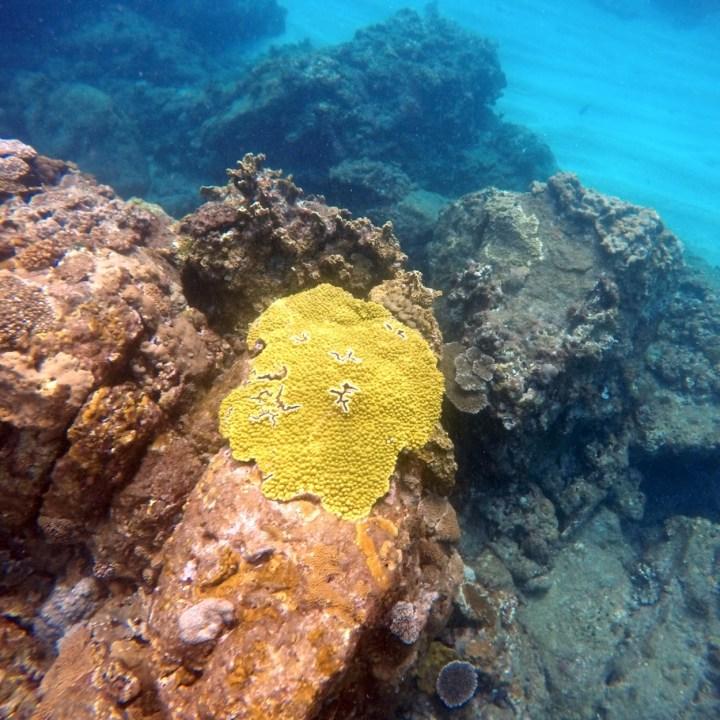 Yakushima snorkelling yellow coral