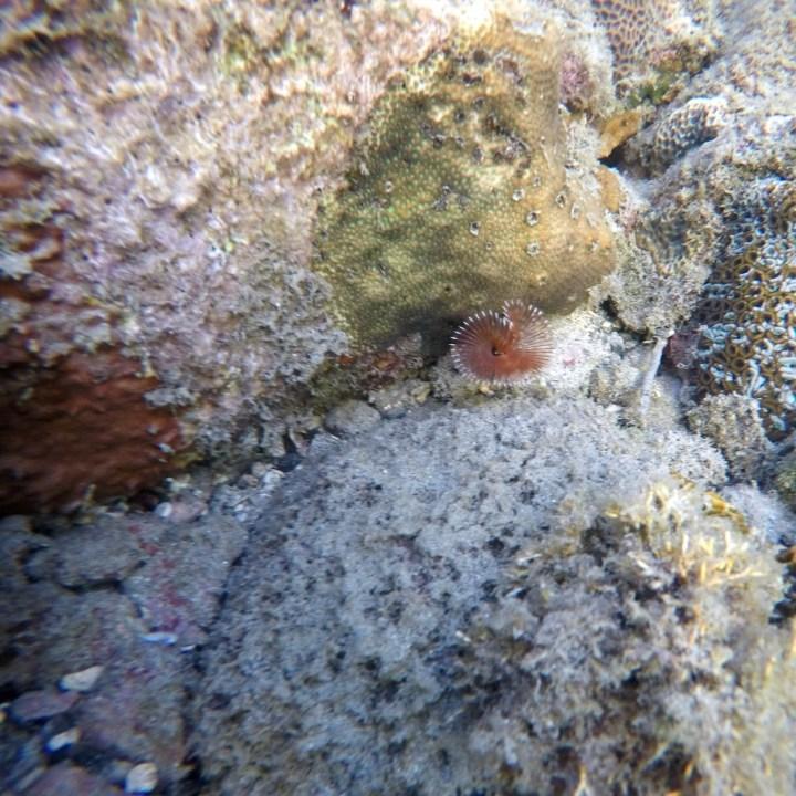 Yakushima snorkelling fan worm