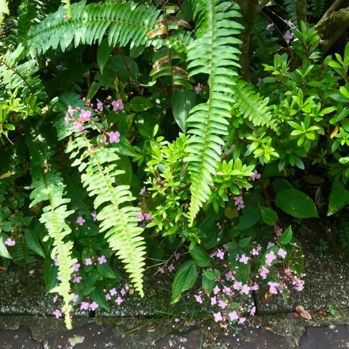 Yakushima Botanical Garden fern