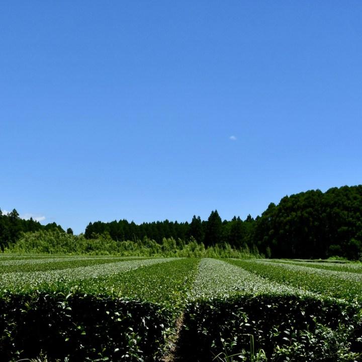 Osami peninsular tea