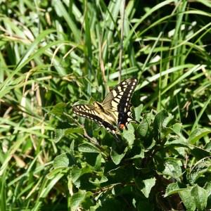 Onamiike butterfly