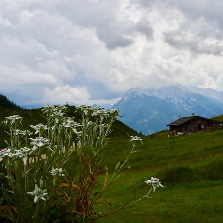 Mordaualm Edelweiss flowers