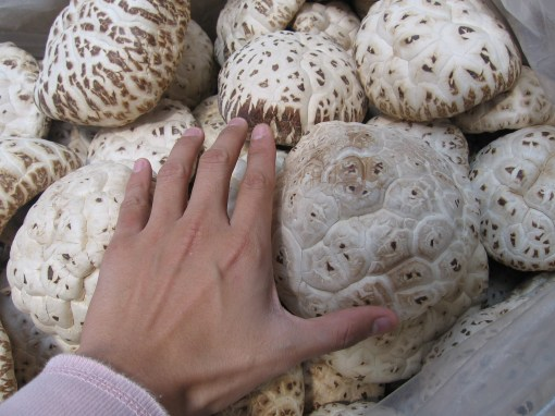 now for something more tame - mushrooms as big as my hand