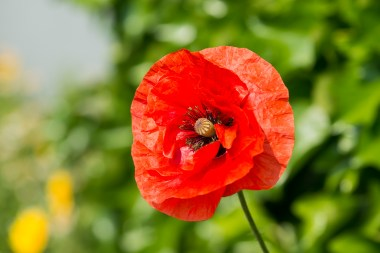 Mohn in Bergerhof