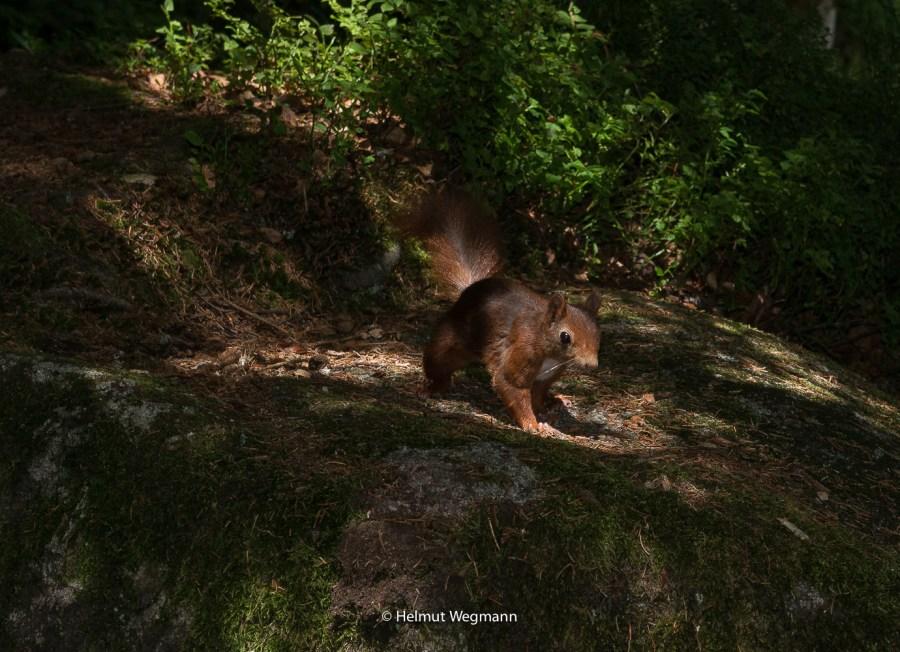 Eichhörnchen-1