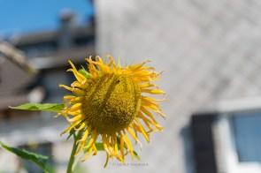 Sonnenblume in Wahlscheid