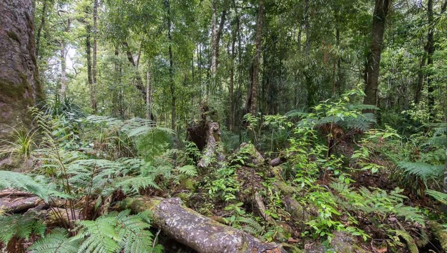 Nationalpark mit Kauri Bäumen