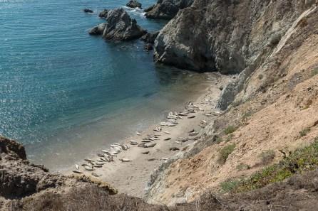 Californische Seelöwen en masse