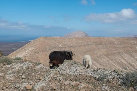 Schafe am Kraterrand