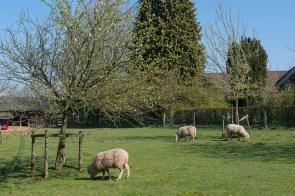 Schafe am Thomashof