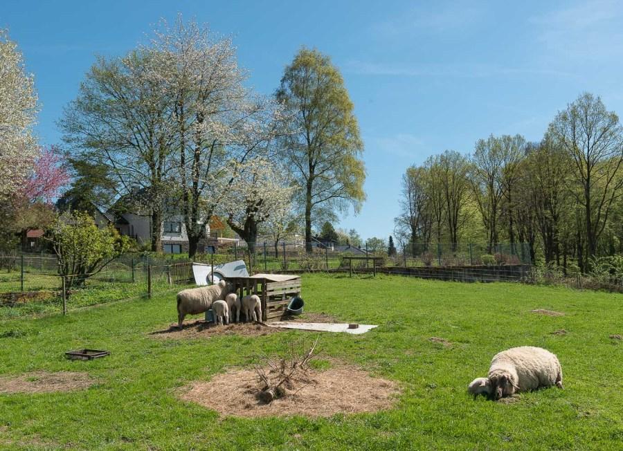 Schafsparadies kurz vor Overath
