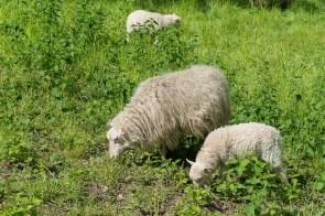 Schafe halten das Gras kurz