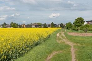 Rapsfeld bei Zons