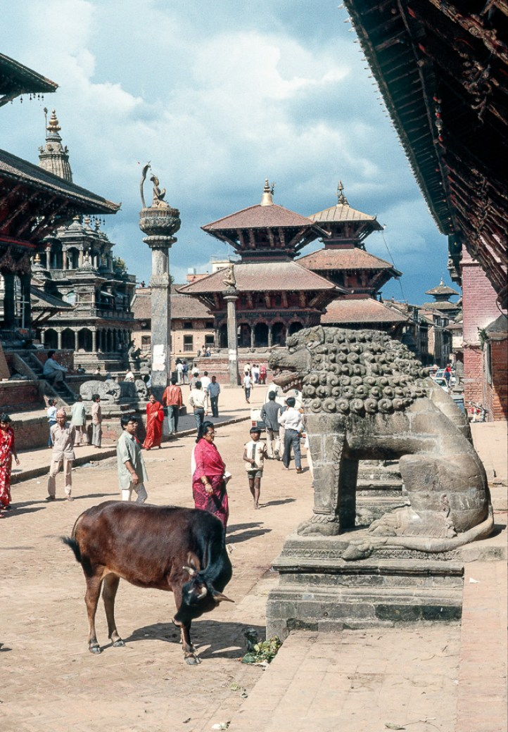 Kuh in Patan
